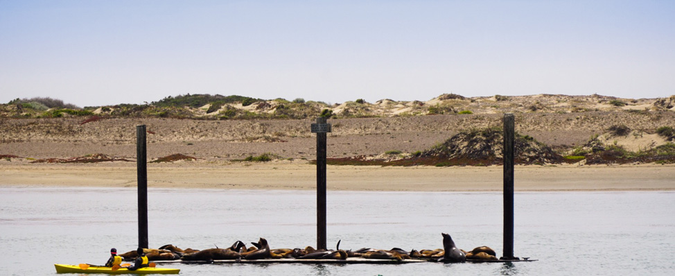 Tons of Sea Lions lounging about -Morro Bay